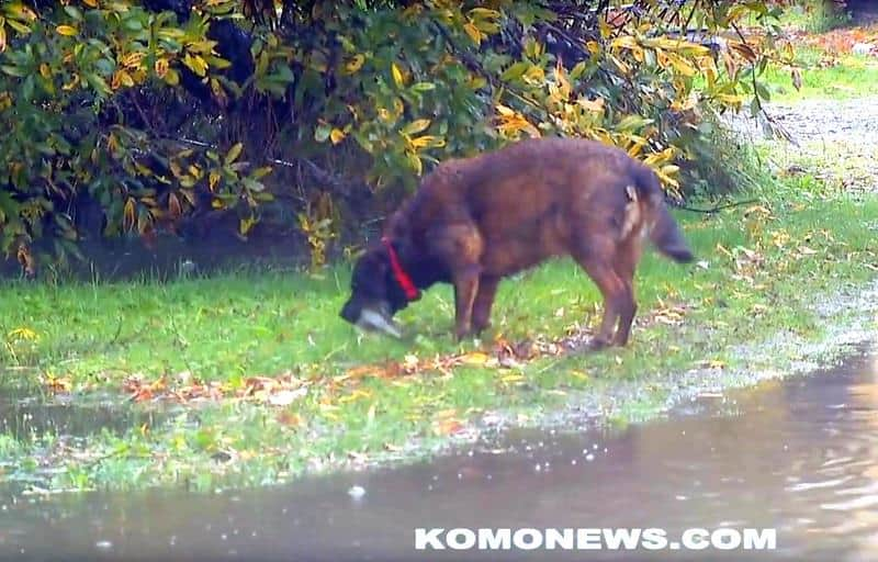Dog catching salmons on a flooded road